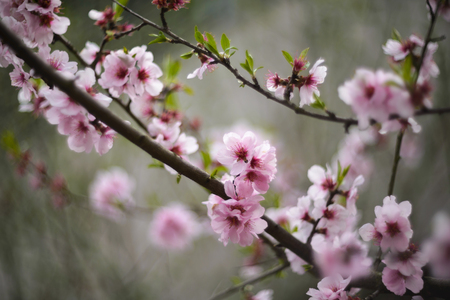 Beautiful cherry blossoms sakura tree bloom in spring in the park, copy space, close up. Stock Photo