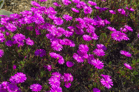 Lampranthus amoenus in bloom in spring. Beautiful small pink flowers from South Africa.