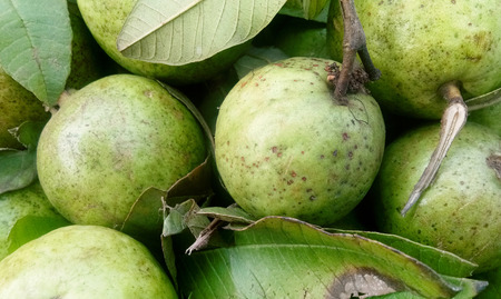 Fresh guava fruit in wooden tray after harvested from the farm ready to serve or sell at the market 스톡 콘텐츠