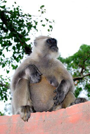 Indian gray langoor monkey sitting on wall