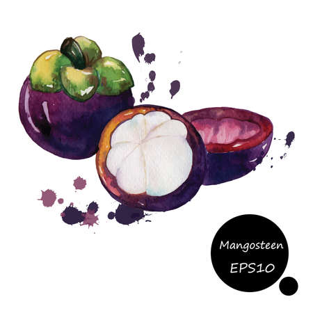 mangosteen watercolor splash ink on white background illustration EPS10