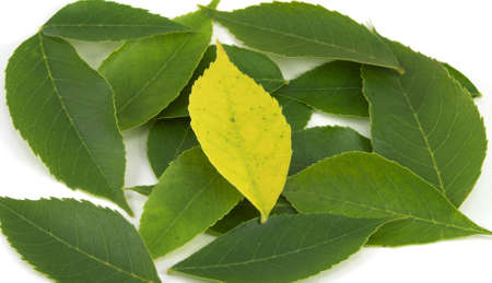 uniqueness: Uniqueness, Yellow Leaf among Greens Stock Photo
