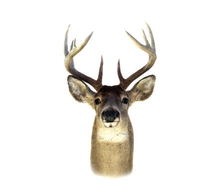 tete de cerf: An isolation of a mounted Whitetailed deer head