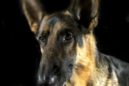 A closeup of a German Shepherd's face on a black backgound Stock Photo - 5859347