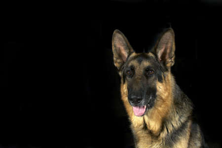 A noble looking German Shepherd isolated on a black background Stock Photo - 5859365