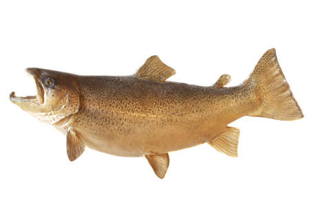 brown: A male brown trout in his fall spawning colors Stock Photo
