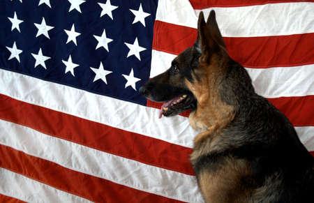 perro policia: Pastor alem�n sobre el tel�n de fondo de bandera para simbolizar a nuestros veteranos caninas de la WWII