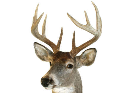 Close up of a whitetail deer head looking towards the viewer at an angle. photo