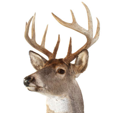 A closeup of a whitetail deer looking towards the left photo