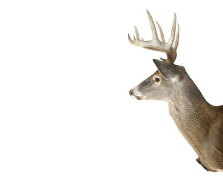 white tailed deer: An Isolated Whitetail Buck Deer Head Profile With Ad Space