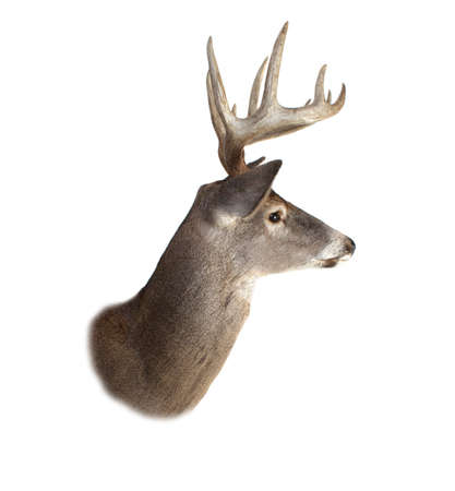 white tail deer: A profile of a whitetail deer buck isolated on white. Stock Photo