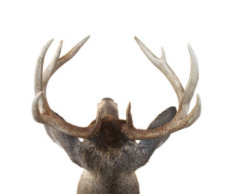 View of a Whitetail Deer Buck Head from Above Isolated on White photo