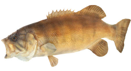 spawn: Side view of a large smallmouth mass mouth open to catch a meal.