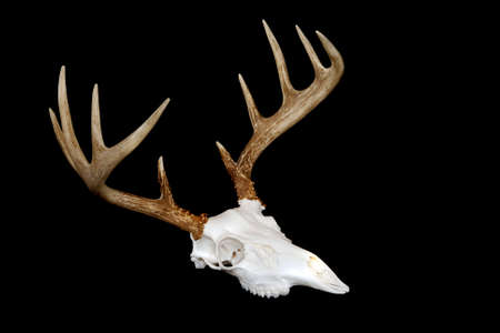 white tailed deer: An angled view of a european deer mount