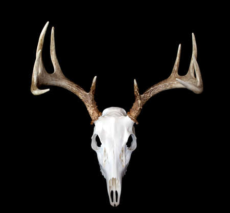 animal skull: A top view of a european deer mount Stock Photo