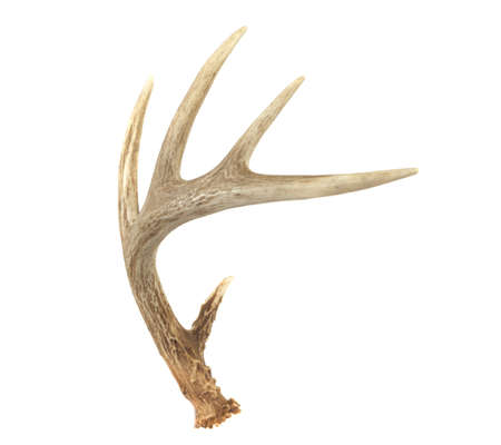 white tailed deer: An angled view of a whitetail deer antler isolated on white