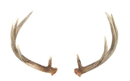 venado cola blanca: Parte trasera vista de sub�rtica Deer Antlers aislados en blanco