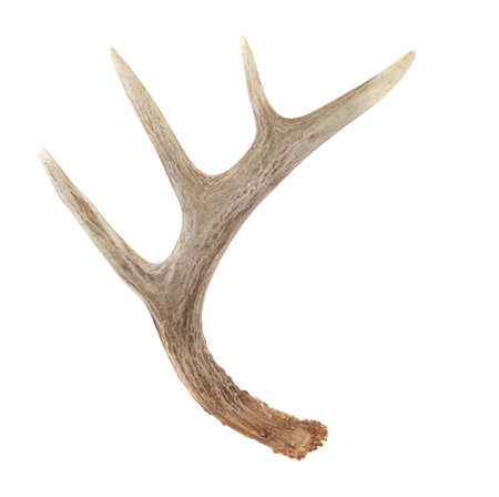 white tailed deer: Side View of Whitetail Deer Antlers Isolated on White