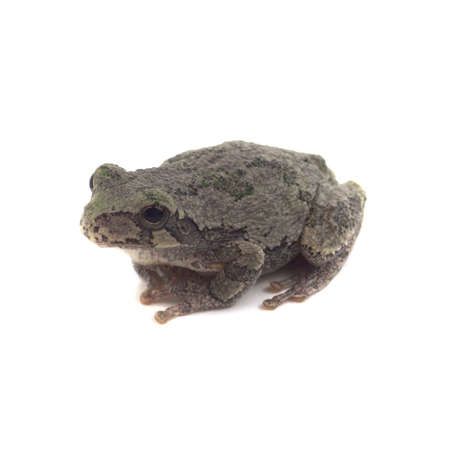 grey: Copes Grey Tree Frog Isolated on White With Shadow Stock Photo