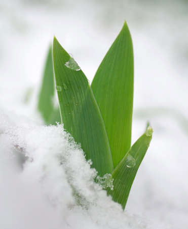 emerge: A sprout pushes through the snow
