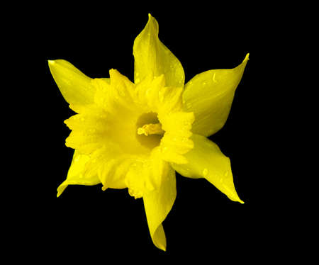 Yellow daffodil flower isolated on black stock photo picture and yellow daffodil flower isolated on black stock photo picture and royalty free image image 9413607 mightylinksfo