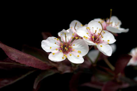blossoming: Plum Tree Blossom Isolated on Black Stock Photo
