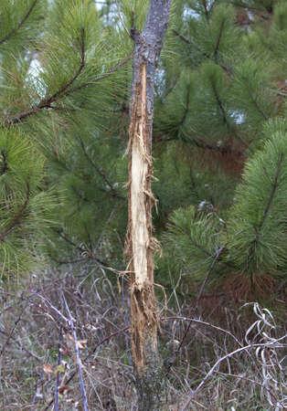 venado cola blanca: Pequeño árbol se frota por las astas de un ciervo s durante la época de celo