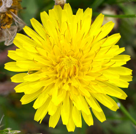 taraxacum: Macro of a common dandelion flower (Taraxacum officinale) Stock Photo