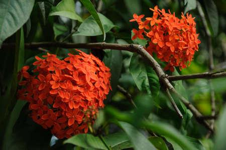 scarlet: Scarlet heart shaped flowers bloom in the garden.