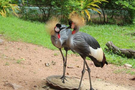 crowed cranes kissing