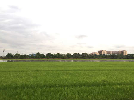 rice field: Rice field with sky