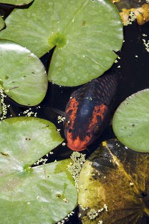 koi pond: Koi carp peeking throught th water lilly pads