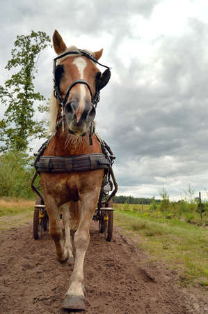 A Horse in trot pulling a Carriage coming toward camera Stock Photo - 15307379