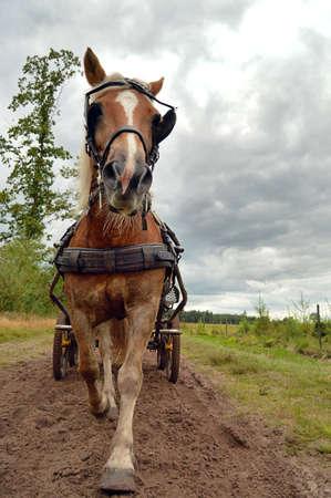 drafje: Een paard in draf trekken van een wagen komen naar camera Stockfoto