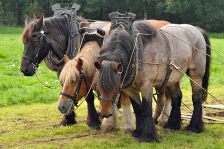 working animal: Belgian draft horses - Three yoked Belgian draft horses standing on the meadow  Stock Photo