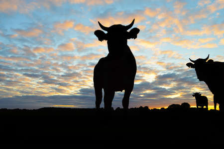 Silhouette of Cows - Cattle during sunset photo