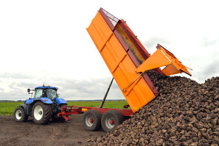 sugar land: Tractor and trailer unload sugar beets - A sugar beet harvest in progress