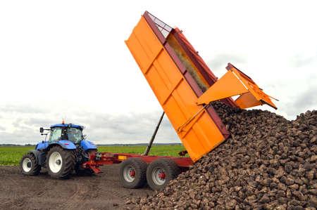 Traktor und Anhänger entladen Zuckerrüben - Eine Zuckerrübenernte im Gange