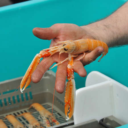 norvegicus: Langoustine - Hand shows a Norway lobster, on a market place