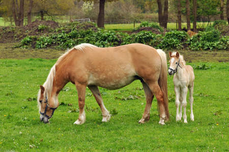 sheltered: Maternal love - A Haflinger foal sheltered behind his mother
