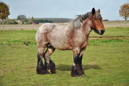 Nederlandse Zware Trekpaard in een weiland in de buurt van Sint Philipsland in de provincie Zeeland, de Nederland Stockfoto