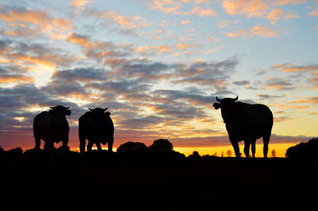 Silhouettes of cows on meadow against dramatic sunset Zdjęcie Seryjne