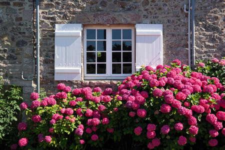 Magenta gekleurde hortensia struik voor venster en luiken in Bretagne, Frankrijk Stockfoto