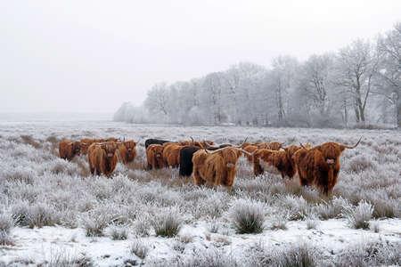 자연 겨울 풍경에 붉은 갈색 스코틀랜드 highlanders의 무리.