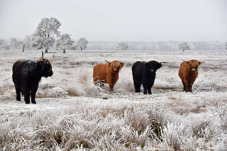 Black and red hairy Scottish highlanders in a natural winter landscape. Zdjęcie Seryjne
