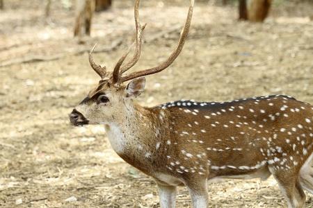 Impala o un ant�lope una especie de ciervo en relajante Franco  Foto de archivo - 10637056