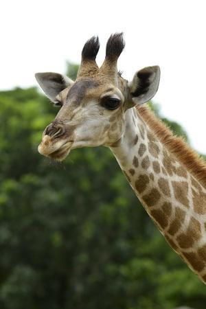 giraffa camelopardalis: giraffe head  Stock Photo