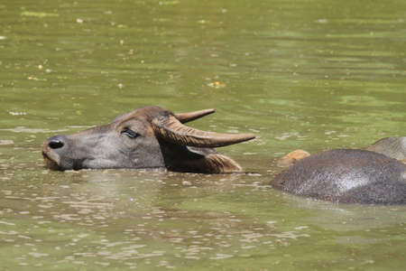 Water buffalo played amid hot sun.  photo