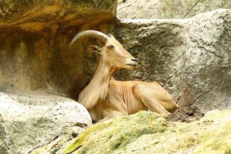 mountain goats: Mountain Goats. Archivio Fotografico