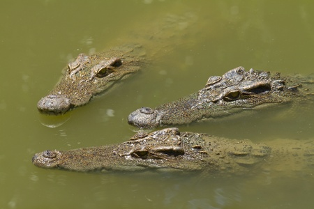 The three heads of crocodiles. Stock Photo
